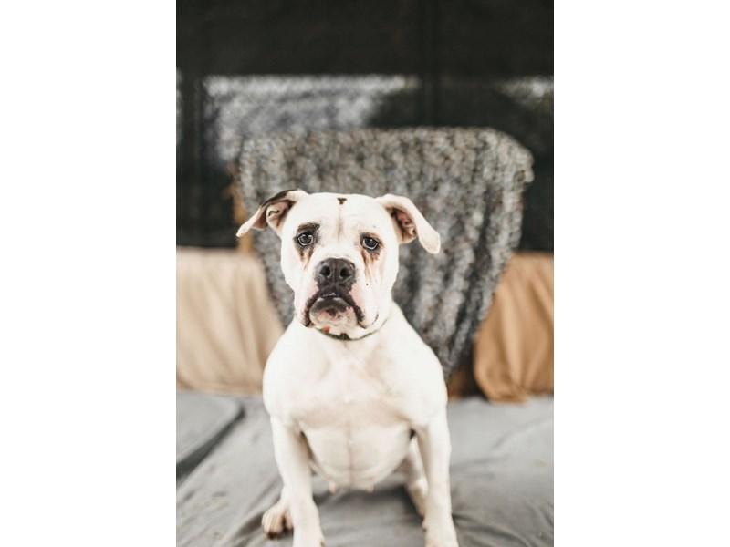 American Bulldog mix-DOG-Female-White,Brindle-2711405-img4