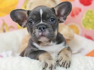 French Bulldog-DOG-Male--