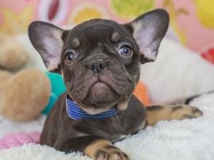 French Bulldog-DOG-Female--