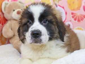 Saint Bernard-DOG-Female--