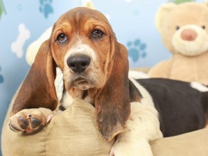 Basset Hound-DOG-Female--