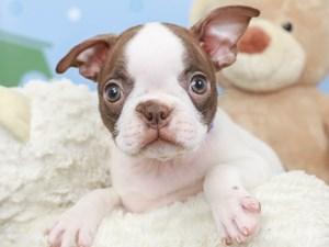 Boston Terrier-DOG-Female--