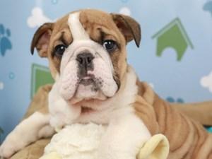 English Bulldog-DOG-Female-Fawn and White-