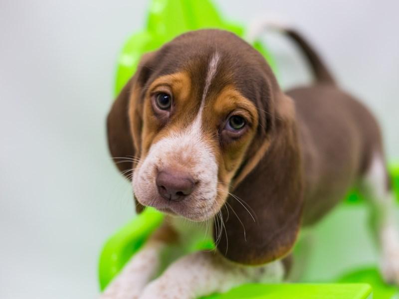 Beagle-DOG-Male-Chocolate Tricolor-2729078