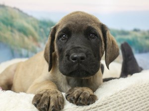 English Mastiff-DOG-Male-Fawn-