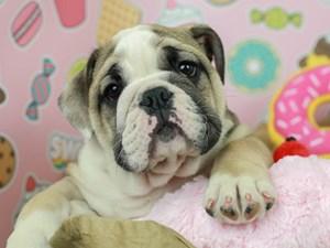 English Bulldog-DOG-Male--