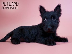 Scottish-Terrier-DOG-Female-2754362