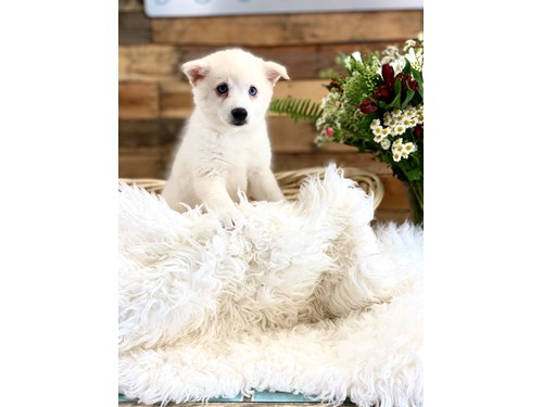 Grand Rapids American Eskimo/Alaskan Klee Kai Dog Adoption Grand Rapids, MI