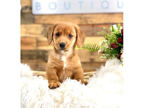 Grand Rapids Dorgi Dog Adoption Grand Rapids, MI