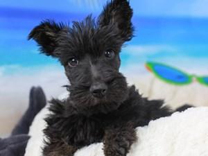 Scottish Terrier-DOG-Male-Black Brindle-