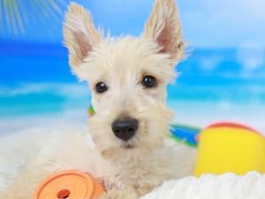 Scottish Terrier-DOG-Male-Wheaten-