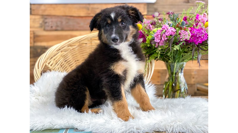 Grand Rapids Border Collie/rough Coated Collie Puppies