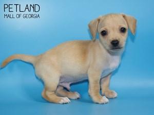 Chihuahua-DOG-Male-2768386