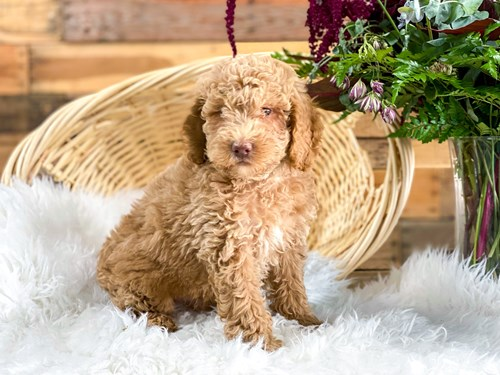 Barking Boutique Grand Rapids Michigan Supplies Amp Puppies For Sale