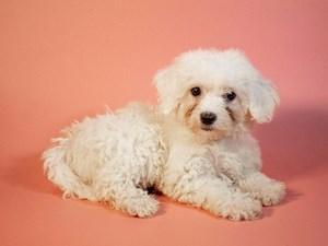 Bichon-Frise-DOG-Female-2764135