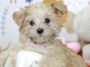 Morkie-DOG-Male--