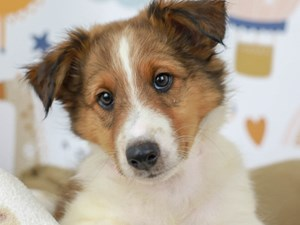 Shetland Sheepdog-DOG-Male--