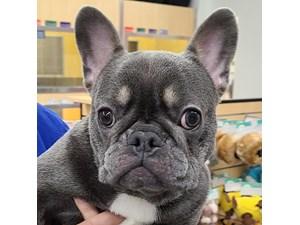 French Bulldog-DOG-Male--2619842