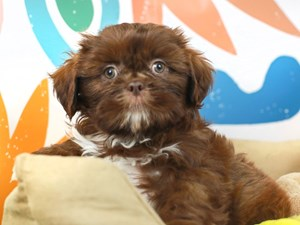 Shih Tzu-DOG-Male--