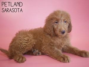 Labradoodle-DOG-Female-2787005