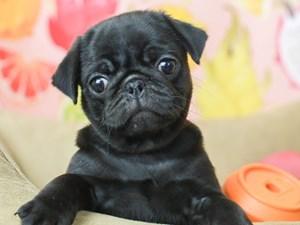 Pug-DOG-Female-BLACK-