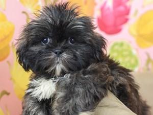 Shih Tzu-DOG-Male-Brindle / White-