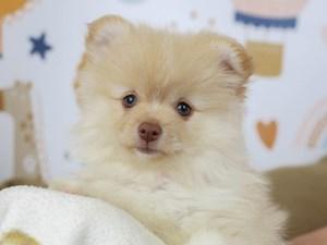 Pomeranian-DOG-Female--