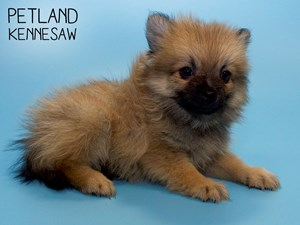 Pomeranian-DOG-Male-2798178