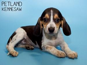 Beagle-DOG-Male-2798239