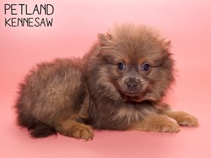 Pomeranian-DOG-Female-2798185