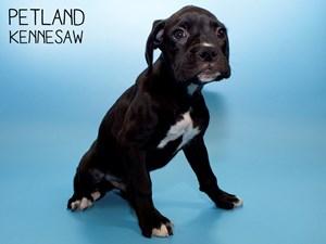 Boxer-DOG-Male-2798234