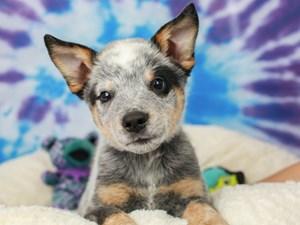 Australian Cattle Dog-DOG-Male-Blue Speckled-