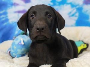 Labrador Retriever-DOG-Male-Black-