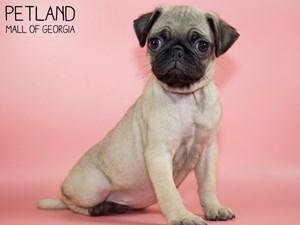 Pug-DOG-Female-2805389