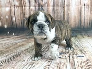 Puppies For Sale Adoption Visit Petland Dayton Ohio