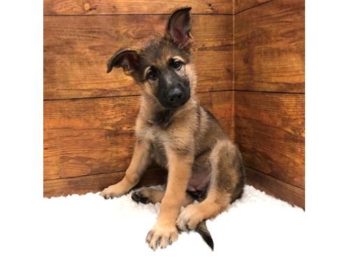 Available Puppies Petland Terre Haute 812 234 1444