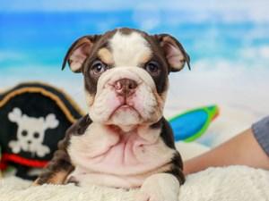 English Bulldog-DOG-Female--
