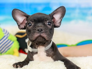 Frenchton-DOG-Male--