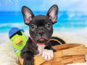 Frenchton-DOG-Female--