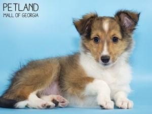 Shetland-Sheepdog-DOG-Male-2808532