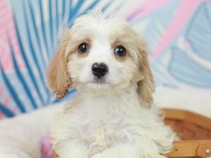 Cavachon-DOG-Male--