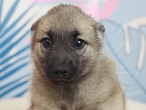 Norwegian Elkhound-DOG-Female-slvr gy & blk-