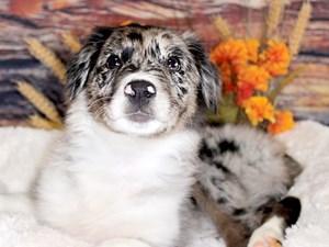 Puppies For Sale Petland Cicero Syracuse New York
