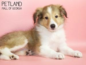 Shetland-Sheepdog-DOG-Female-2821018