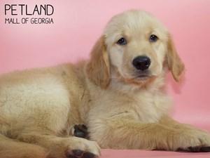 Golden-Retriever-DOG-Female-2821017