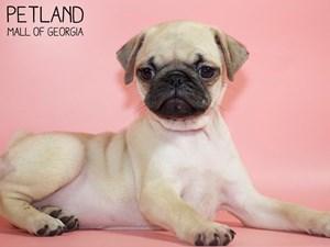 Pug-DOG-Female-2821007