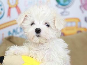 Maltese-DOG-Female--