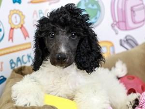 Standard Poodle-DOG-Female--