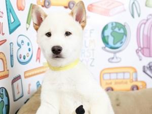 Shiba Inu-DOG-Male-CREAM-