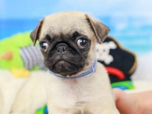 Pug-DOG-Male-Fawn-
